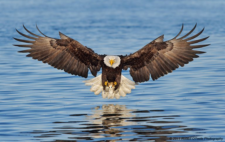 Hechos acerca de las águilas