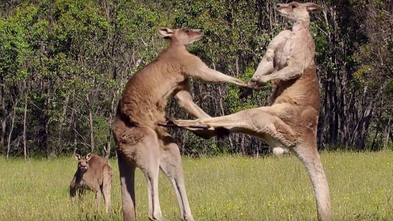 Hechos acerca de los canguros