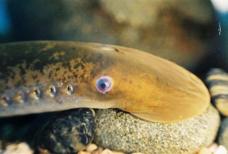 Los seres humanos comparten un gen relevante con este pez que puede reparar su médula espinal