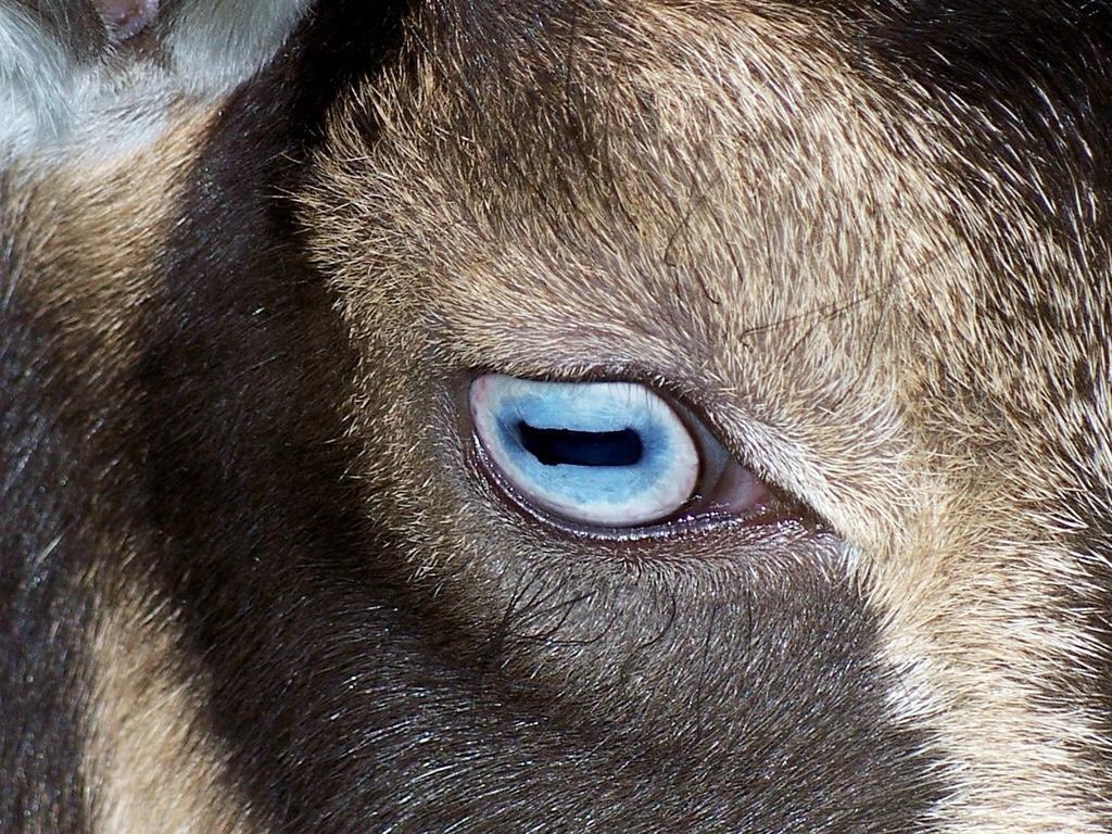 ¿Por qué las cabras tienen pupilas horizontales?