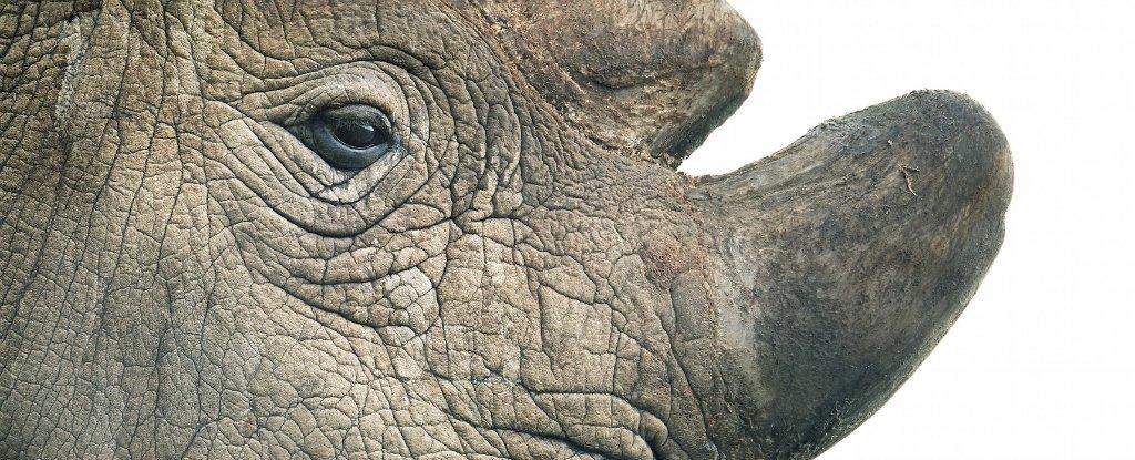 El último macho de rinoceronte blanco del norte ha muerto