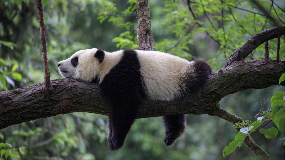 China está creando un enorme parque protegido de pandas para alentarlos a encontrarse y mezclarse