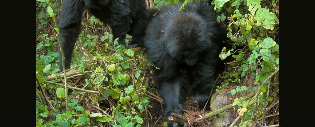 Gorilas jóvenes han aprendido a desmantelar las trampas de los cazadores furtivos