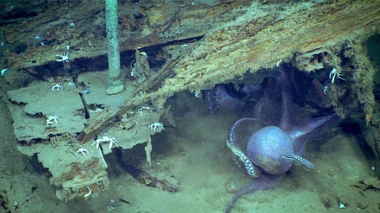 Mira cómo dos cefalópodos luchan en las profundidades marinas del golfo de México