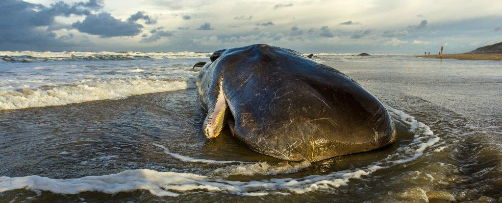 Un cachalote encontrado muerto en España tenía 29 kilos de plástico en el estómago