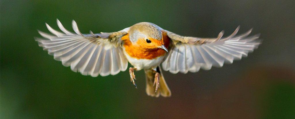 Las aves pueden ver los campos magnéticos de la Tierra, y estamos cerca de averiguar cómo