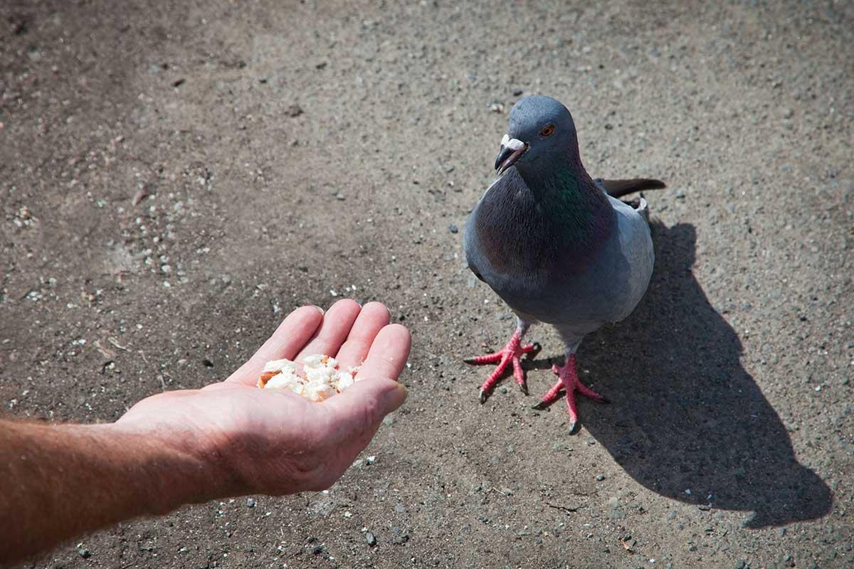 Las palomas pueden entender las probabilidades, al igual que los primates