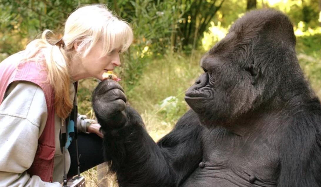 Koko, la gorila que cautivó a muchos, muere a los 46 años
