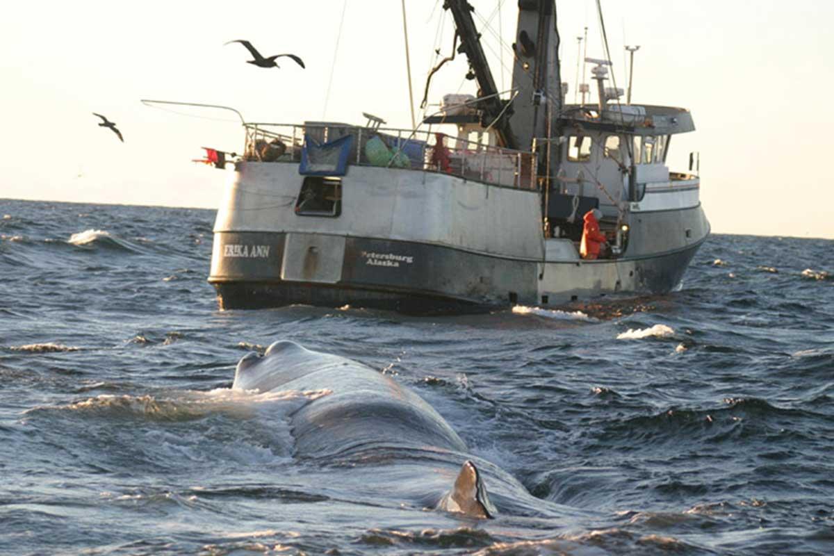 Los cachalotes rastrean barcos de pesca y roban sus peces desde hace tiempo
