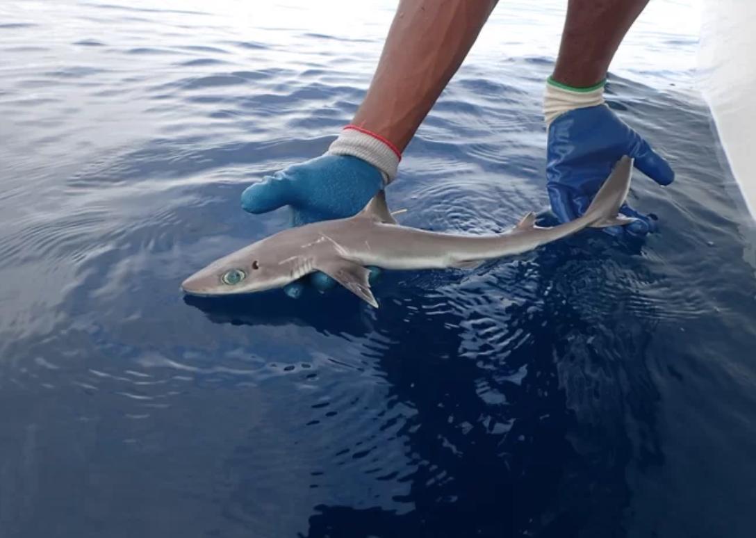 Descubierta nueva especie de tiburón que parece un personaje de anime