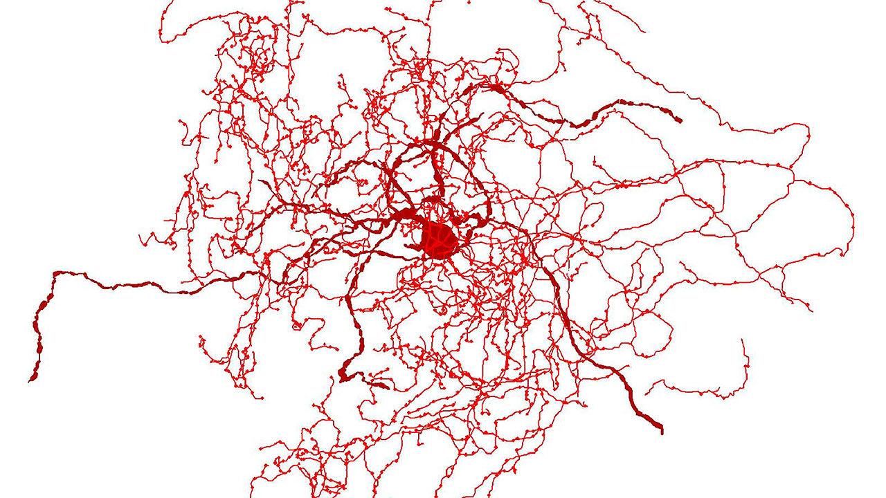 Científicos encuentran un nuevo tipo de neurona y puede que solo los humanos la tengan