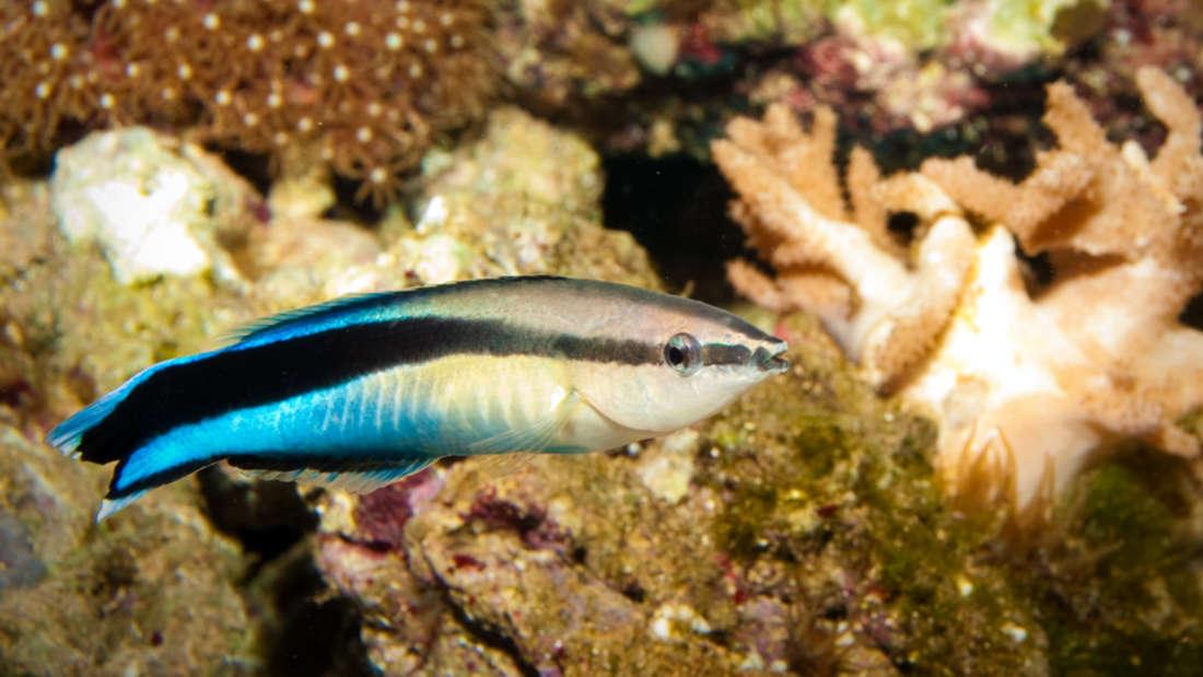 Este tipo de pez ha pasado la prueba para reconocerse en un espejo