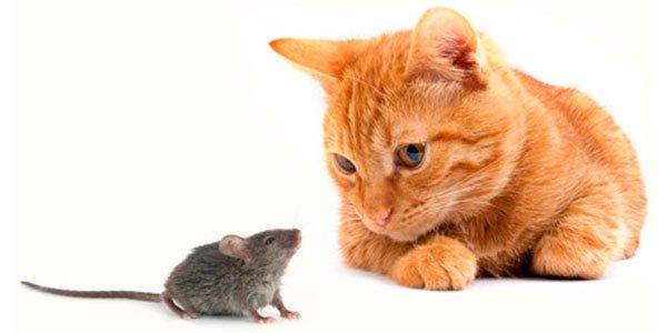 Los gatos son realmente terribles para controlar algunas poblaciones de ratas, según un estudio