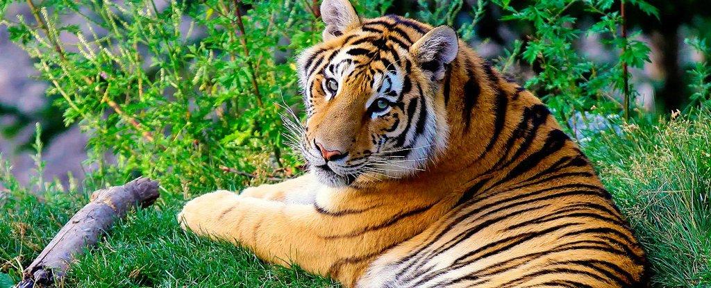 Estudio de genoma completo confirma que en realidad hay seis subespecies de tigres