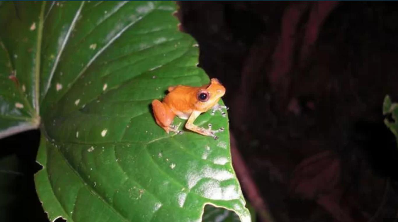 Estudio sugiere que una especie de rana está evolucionando para escapar de la extinción