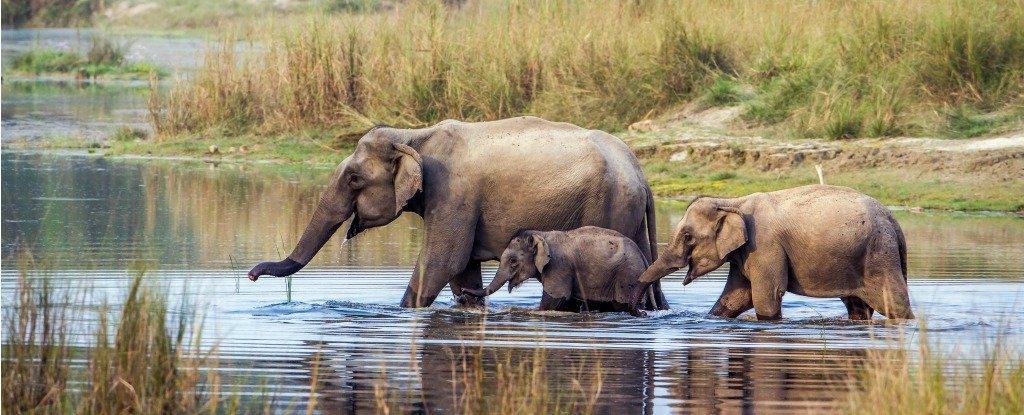 Los elefantes asiáticos podrían tener las habilidades matemáticas más cercanas a los humanos que cualquier otro animal