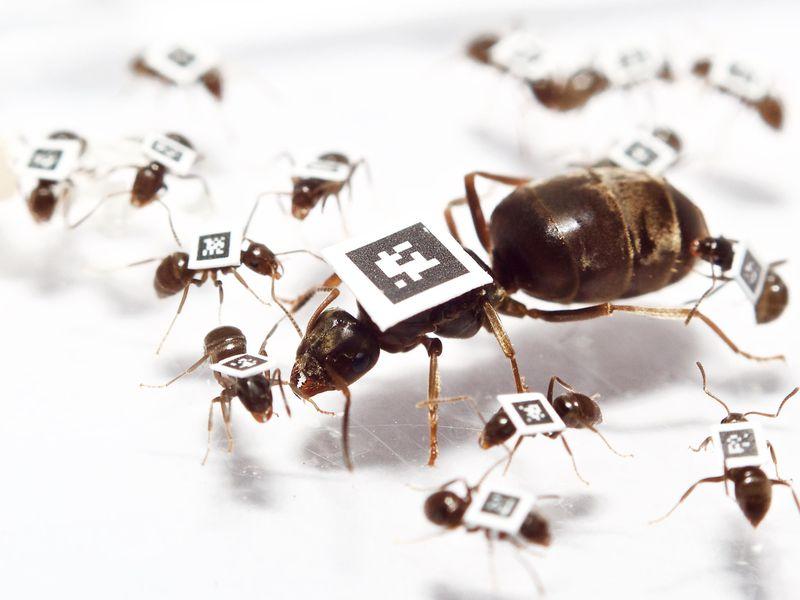 Las hormigas enfermas se mantienen alejadas de sus compañeros de trabajo para no propagar la enfermedad