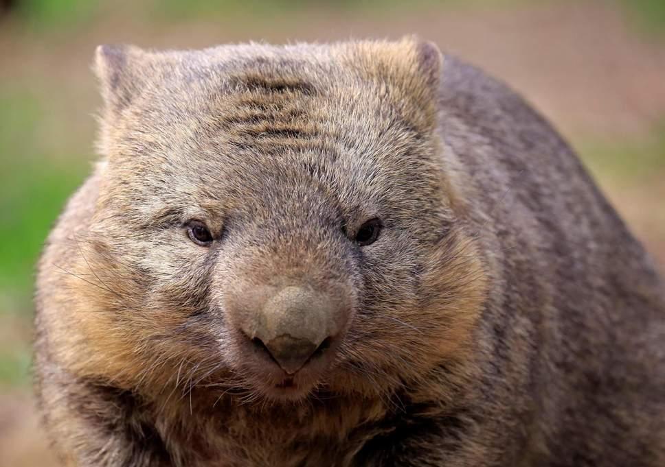 Nuevo estudio revela por qué los wombats tienen excrementos cúbicos