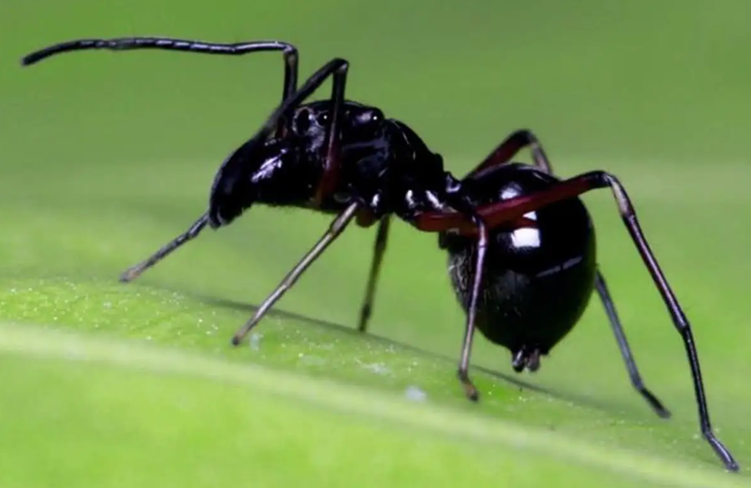 Algunas arañas producen leche, y es más nutritiva que la leche de vaca