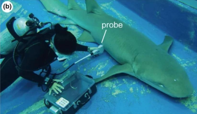 Embriones de tiburones viajan entre úteros para comerse a sus hermanos