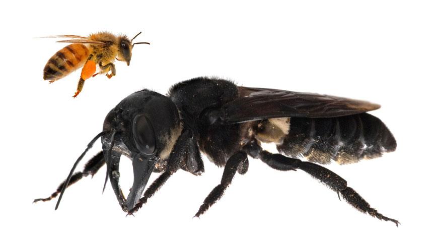 La abeja más grande del mundo ha sido redescubierta después de 38 años