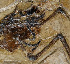 Científicos descubren el primer huevo fosilizado preservado dentro de un ave prehistórica