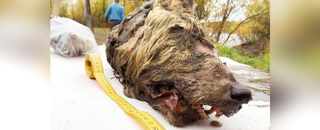 Una cabeza de lobo gigante de hace 40,000 años ha sido encontrada en Siberia