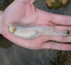 Este extraño molusco come rocas y defeca arena