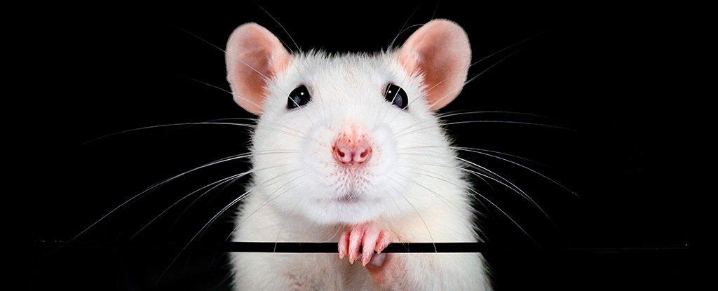 Sentido del olfato en ratones fue recuperado luego de rociar sus narices con células madre