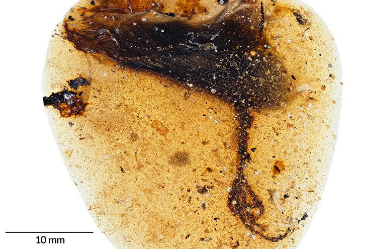 Un ave prehistórica con un dedo de la pata muy largo ha sido encontrada conservada en ámbar