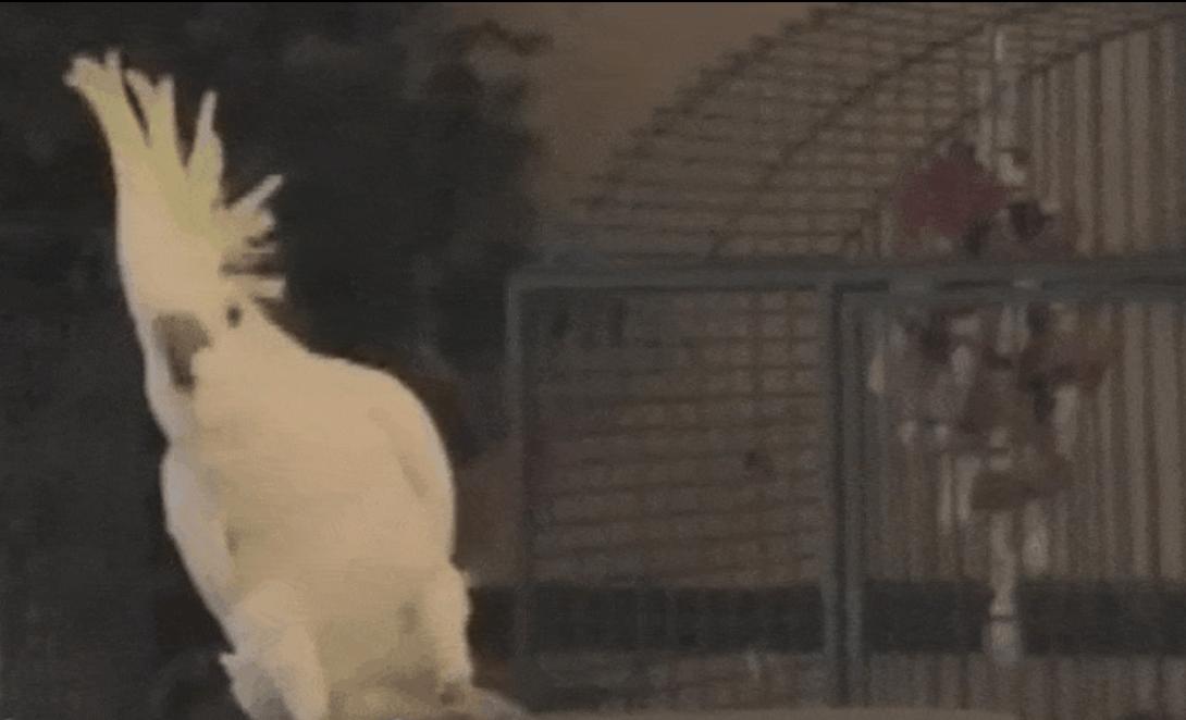 Estudio demuestra que cacatúa puede inventar sus propios pasos de baile