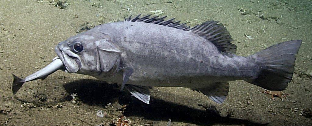 Científicos captan imágenes espectaculares de un pez de aguas profundas que se come a un tiburón entero