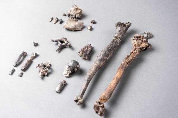 Antepasado de los humanos de 11 millones de años da pistas de cómo los humanos empezaron a caminar