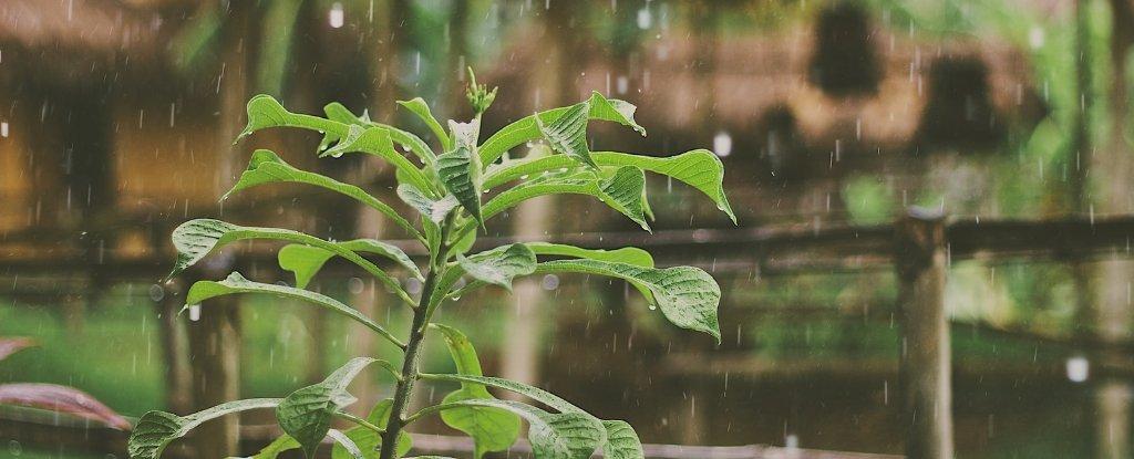 Las plantas entran en un tipo de estado de «pánico» cuando llueve