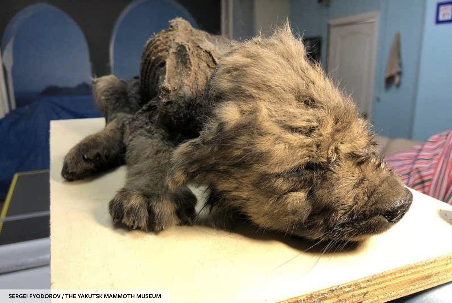 Cachorro momificado murió en Siberia hace 18 000 años y podría ser un lobo (o algo más)