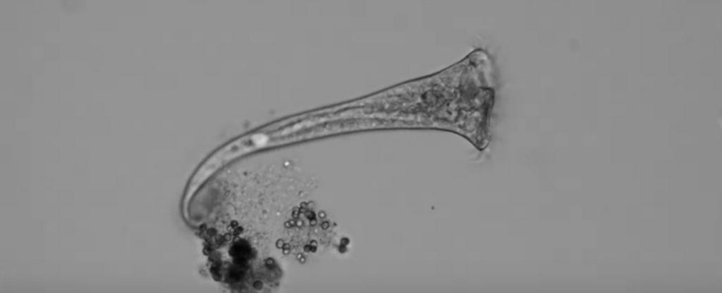 Este organismo unicelular toma complejas 'decisiones' incluso sin un sistema nervioso