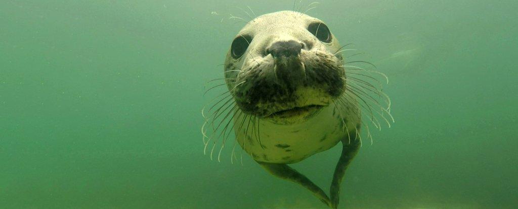 Un sorprendente video muestra focas grises aplaudiendo bajo el agua para comunicarse