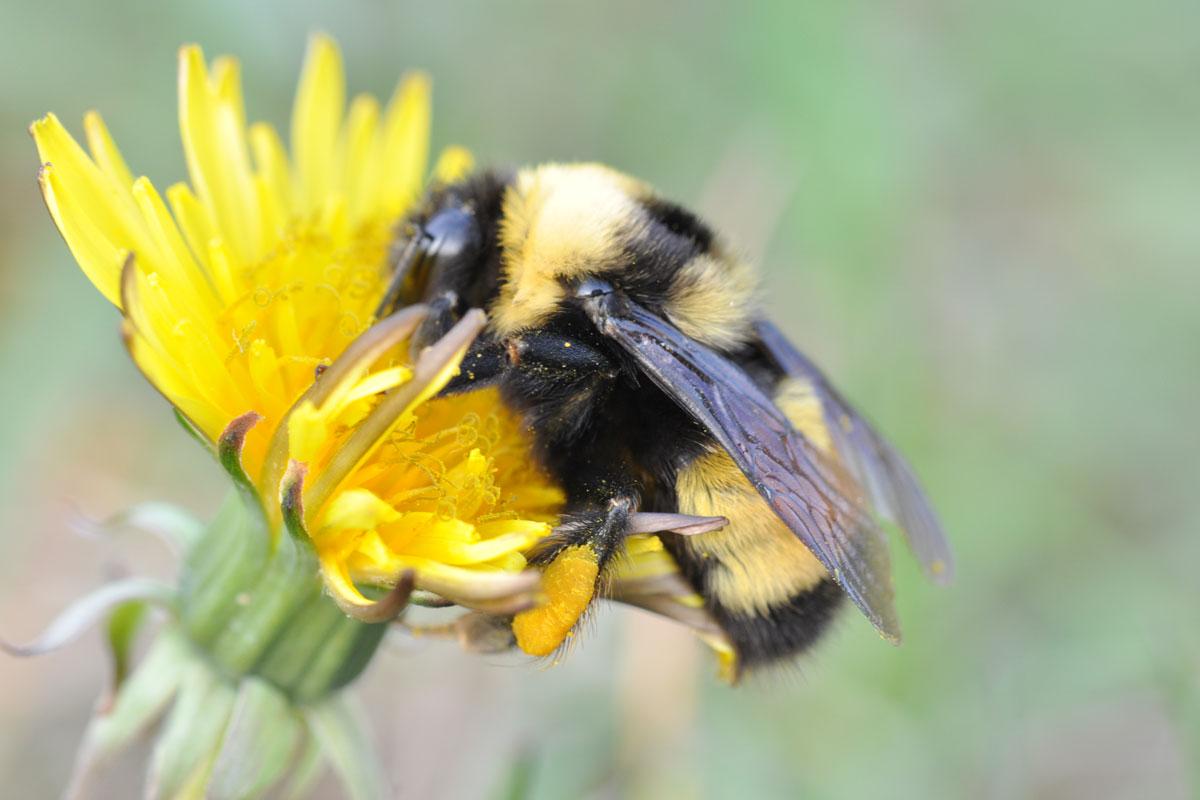 Debido al calentamiento global, los abejorros están en serios problemas