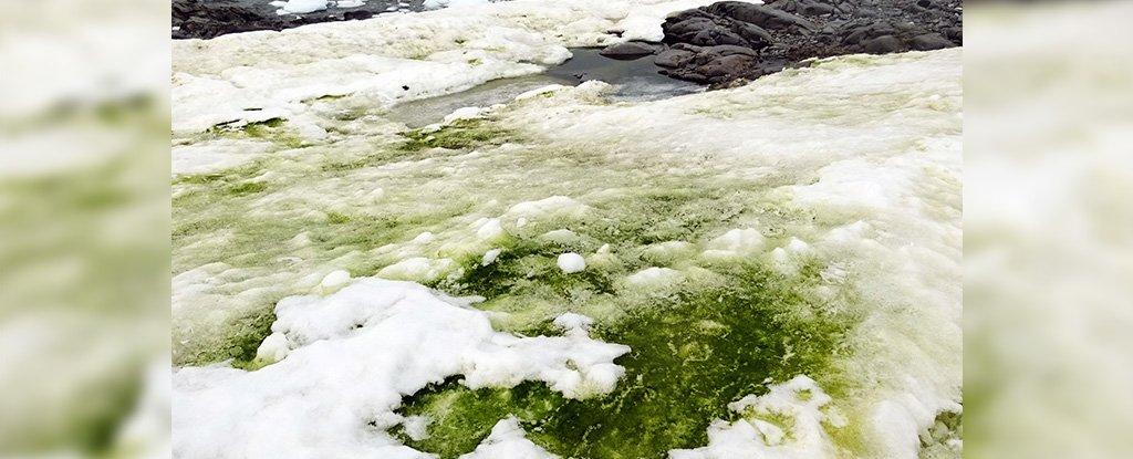 El cambio climático está volviendo verde partes de la Antártida, pero no es hierba