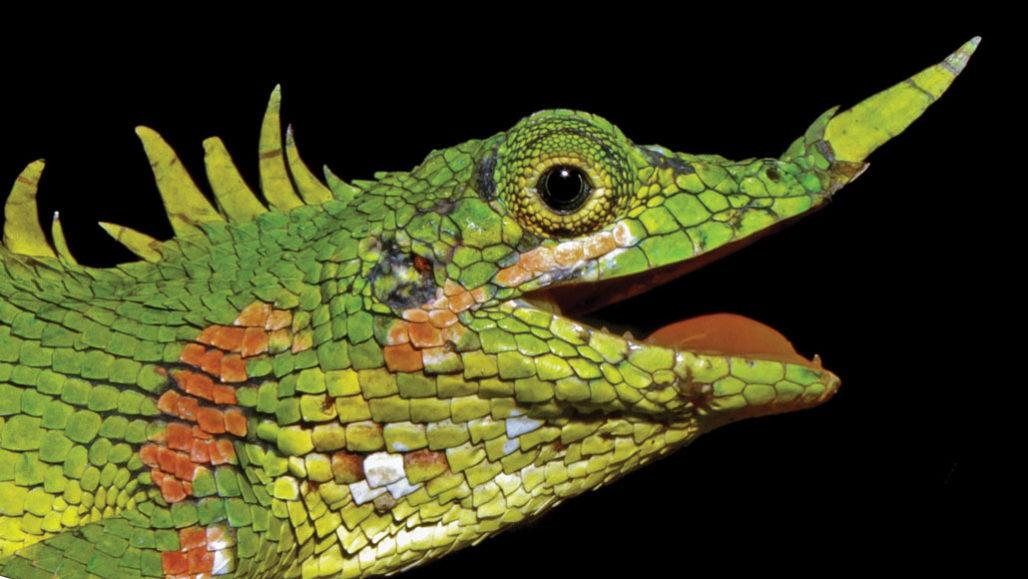 Encontrado lagarto dragón de nariz cornuda que estuvo perdido para la ciencia durante más de 100 años