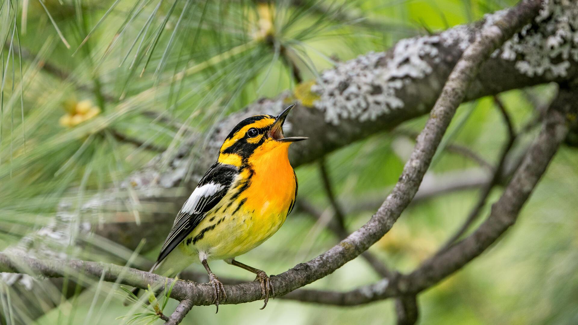 """Los incendios forestales renuevan el """"dialecto"""" de los pájaros"""