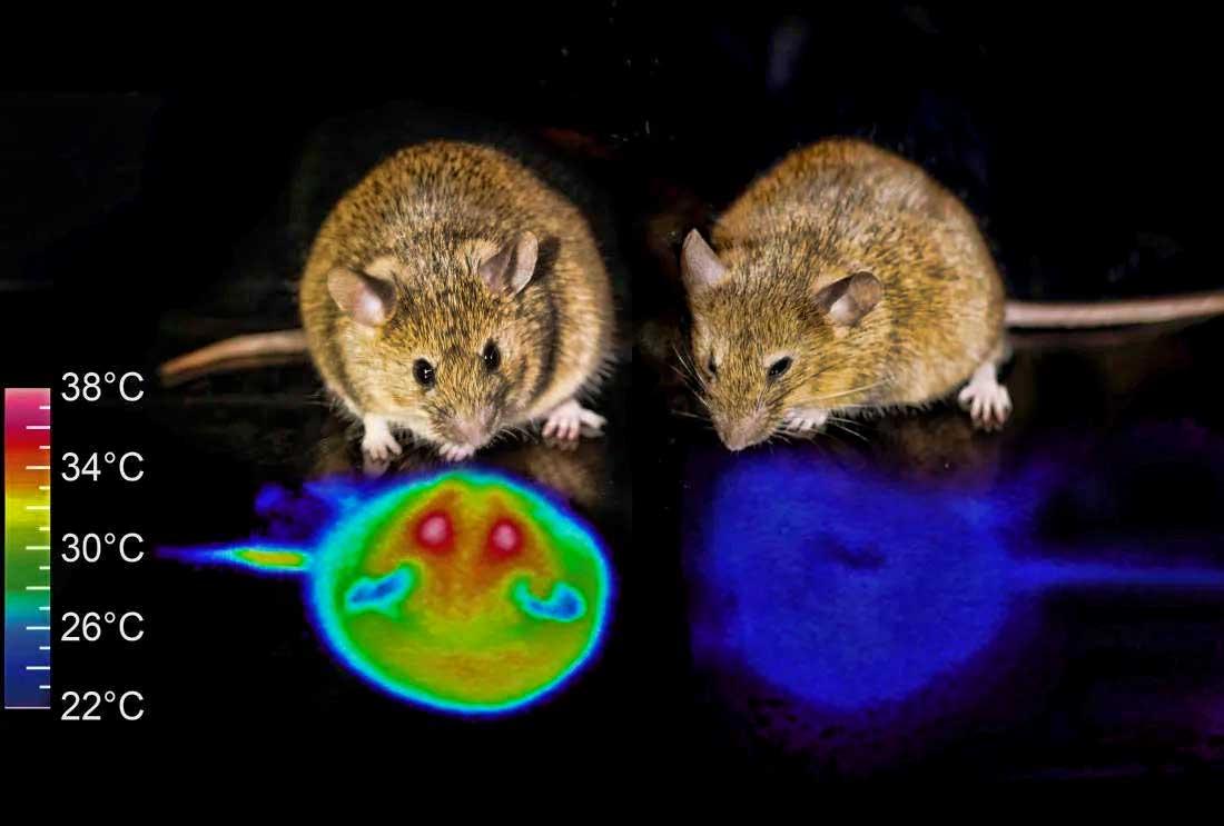 Logran inducir la hibernación en ratones