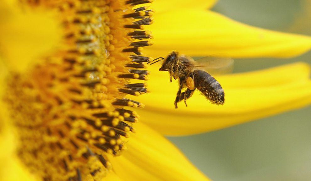 Las abejas silvestres contribuyen con más de $ 1.500 millones por año en Norteamérica