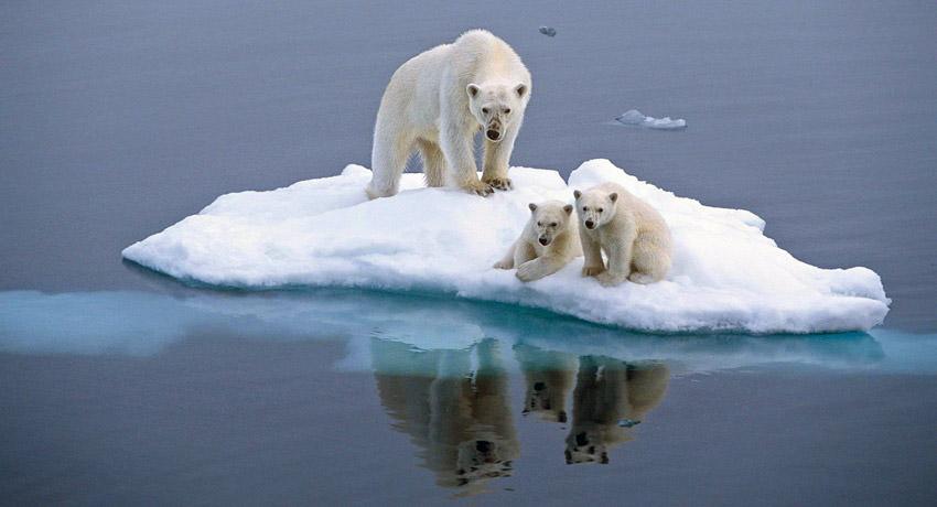 El cambio climático acabará con casi todos los osos polares para 2100