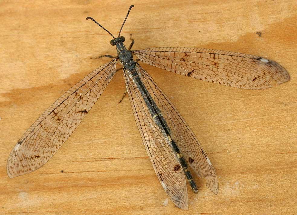 Se comprueba en insectos la efectividad de «hacerse el muerto»