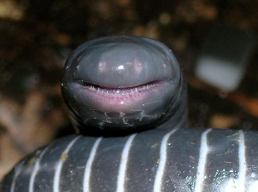 Descubren el primer anfibio que muerde con dientes venenosos