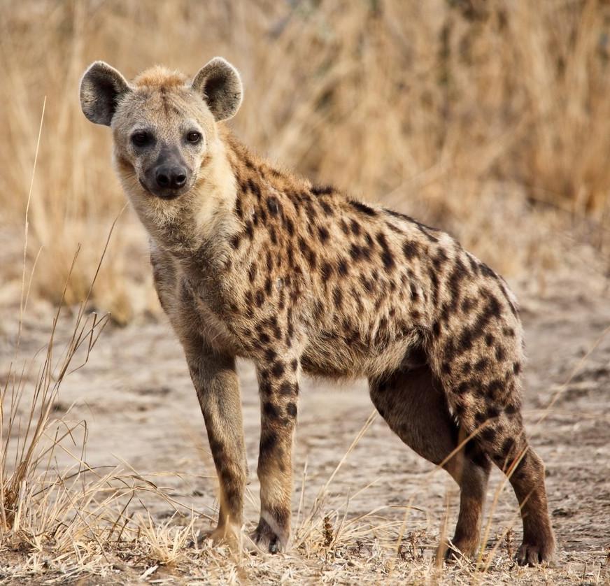 5 datos sobre las hienas que te sorprenderán