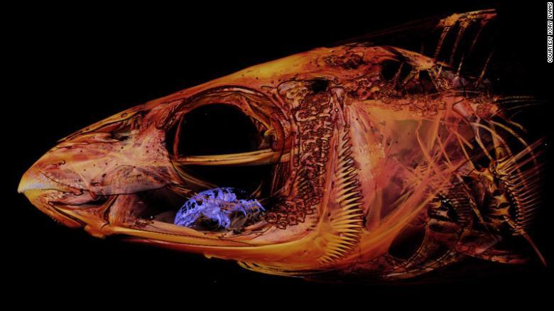 Biólogo marino encuentra por casualidad parasito come-lengua en la boca de un pez