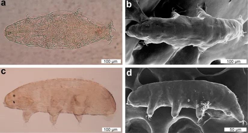 Científicos encuentran nueva especie de tardígrado que puede «cambiar la forma de sus huevos»