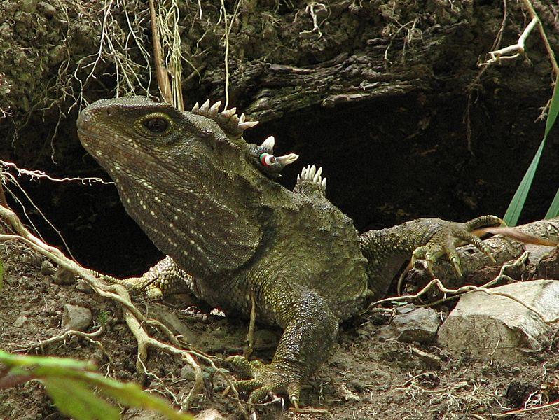 Este reptil es tan único que no solo tiene un tercer ojo, sino que está solo en su rama evolutiva